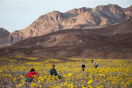 """In this Wednesday, Feb. 24, 2016 photo, tourists take picture of wildflowers near Badwater Basin in Death Valley, Calif. A rare """"super bloom"""" of wildflowers in Death Valley National Park has covered the hottest and driest place in North America with a car"""