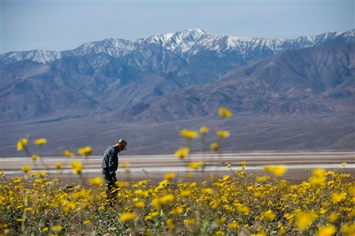 "In this Wednesday, Feb. 24, 2016 photo, Michael Gilbert walks through a field carpeted with wildflowers near Badwater Basin in Death Valley, Calif. A rare ""super bloom"" of wildflowers in Death Valley National Park has covered the hottest and driest place"