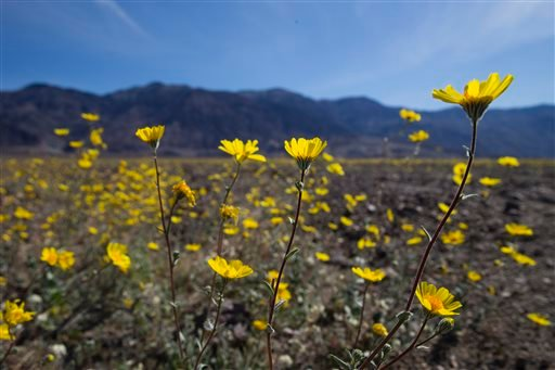 """In this Wednesday, Feb. 24, 2016 photo, wildflowers bloom near Badwater Basin in Death Valley, Calif. A rare """"super bloom"""" of wildflowers in Death Valley National Park has covered the hottest and driest place in North America with a carpet of gold, attrac"""
