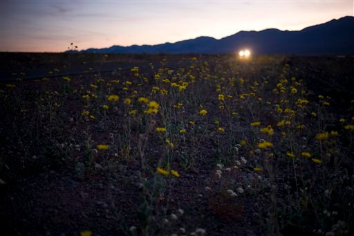 In this Wednesday, Feb. 24, 2016 photo, wildflowers bloom alongside the road near Badwater Basin in Death Valley, Calif. Death Valley National Park is awash in color from fall rainstorms that provided the needed start to produce a wintertime super bloom o