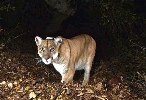 This Nov. 2014 file photo provided by the National Park Service shows the Griffith Park mountain lion known as P-22.