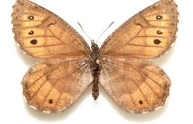 This undated image provided by lepidopterist Andrew Warren shows the newly discovered Tanana Arctic butterfly. Research by Warren released on March 15, 2016 suggests that the newly discovered species evolved from the offspring of two related butterfly spe