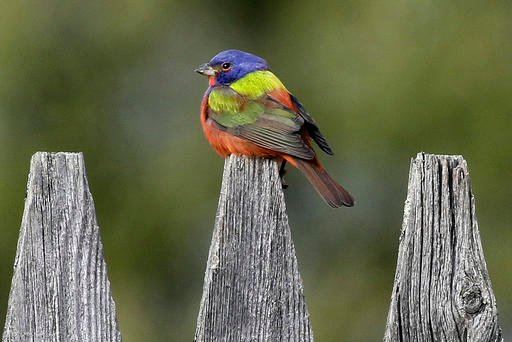 "March 18, 2016 photo provided by the Vermont Center for Ecostudies, a rare painted bunting sits on a fence in Pittsfield, Vt. The bird is sometimes described as a ""flying rainbow."" (Vermont Center for Ecostudies via AP)"