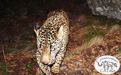 This 2015 photo provided by Conservation CATalyst and the Center for Biological Diversity shows the jaguar known as El Jefe, in Santa Rita Mountains north of Tucson, Ariz.