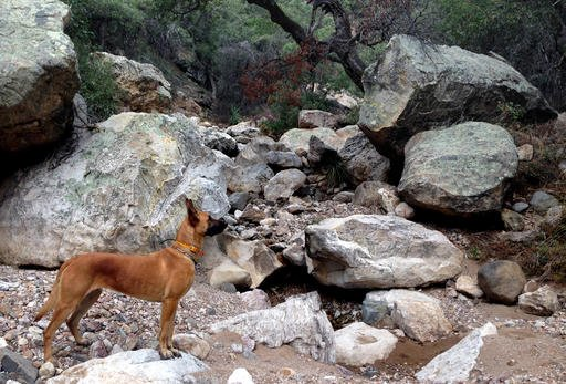 This Jan. 30, 2016, photo provided by Conservation CATalyst and the Center for Biological Diversity shows a Belgian Malinois, named Mayke walking through the Santa Rita Mountains north of Tucson, Ariz.