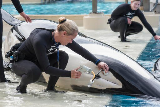 In this undated photo provided by SeaWorld, San Diego, shows whale trainer Kristi Burtis as she obtains a milk sample from Kalia, an orca whale.