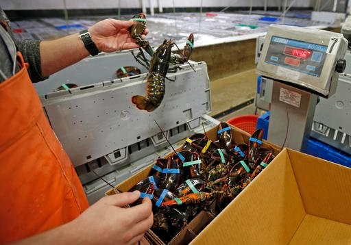 In this Dec. 10, 2015, file photo, live lobsters are packed and weighed for overseas shipment at the Maine Lobster Outlet in York, Maine. The American and Canadian lobster industries are digging in for a fight against the possibility of a ban on lobster e