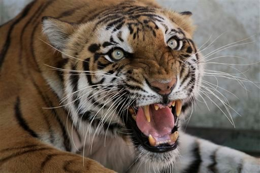 Monday, March 28, 2011, file photo, Seema, a Royal Bengal tigress, reacts to the camera at the zoo in Ahmadabad, India. Countries with wild tiger populations have agreed to do more to protect tiger habitats that are shrinking drastically because of defore