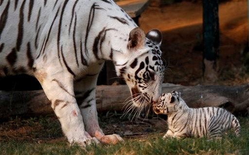 In this Saturday, Feb. 11, 2012, file photo, Khushi, a white tigress, plays with her newborn cub at the state zoological park in Gauhati, India. Countries with wild tiger populations have agreed to do more to protect tiger habitats that are shrinking dras