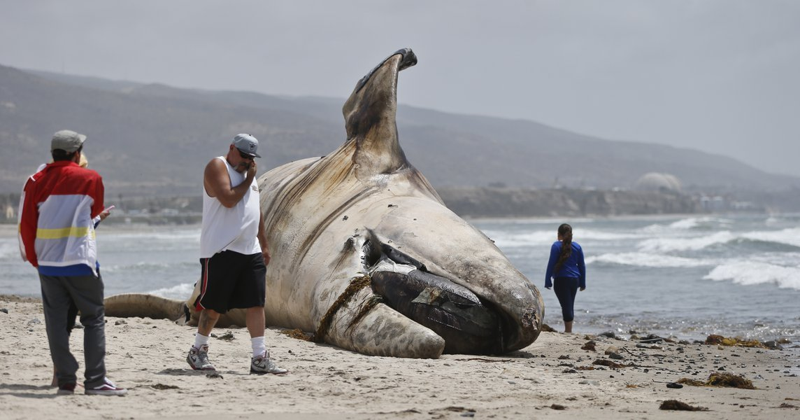 The massive carcass of a whale decomposes at a popular California surfing spot Tuesday, April 26, 2016, in San Clemente, Calif. Authorities are trying to decide what to do with the massive, rotting carcass.