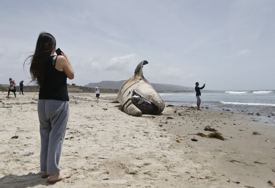 A woman takes a photo while another sight seer takes a selfie in front of the massive carcass of a whale at a popular California surfing spot Tuesday, April 26, 2016, in San Clemente, Calif.