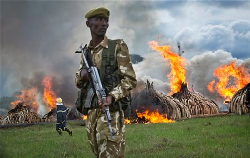 A ranger from the Kenya Wildlife Service (KWS) stands guard as pyres of ivory are set on fire in Nairobi National Park, Kenya, Saturday, April 30, 2016.