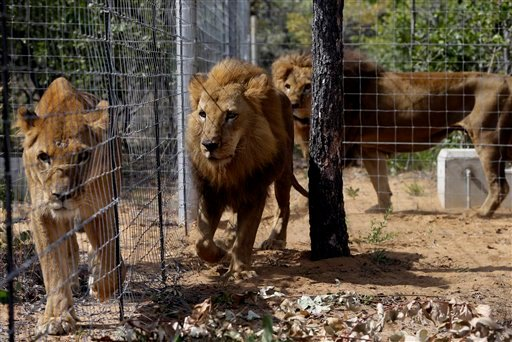 Former circus lions inside an enclosure at Emoya Big Cat Sanctuary in Vaalwater, South Africa, Sunday, May 1, 2016. Thirty-three lions rescued from various circuses in Peru and Colombia are being relocated to live out the rest of their lives in a private