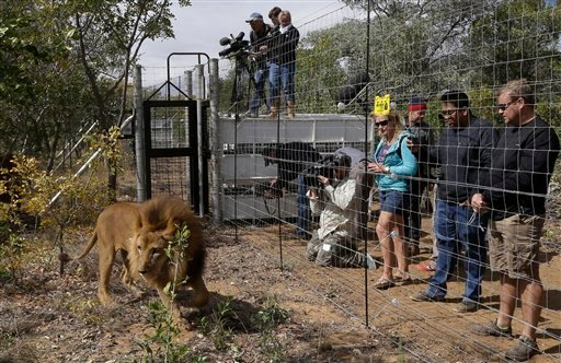 A former circus lion explores the enclosure as members of the media and the staff watch his acclimatization at Emoya Big Cat Sanctuary in Vaalwater, South Africa, Sunday, May 1, 2016. Thirty-three lions rescued from various circuses in Peru and Colombia a