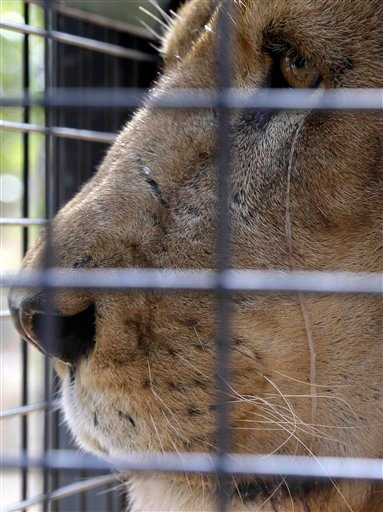 A former circus lion look on prior to being released into an enclosure at Emoya Big Cat Sanctuary in Vaalwater, northern, South Africa, Sunday, May 1, 2016. Thirty-three lions rescued from circuses in Peru and Colombia are heading back to their homeland t