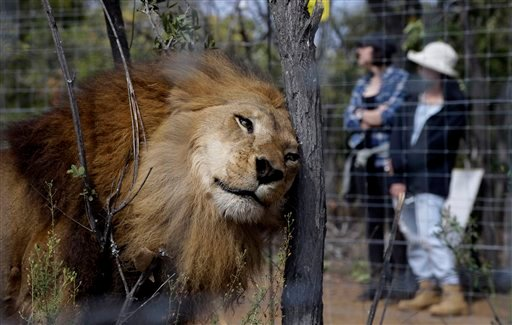 A former circus lion scratches its head against a tree inside an enclosure at Emoya Big Cat Sanctuary in Vaalwater, northern, South Africa, Sunday, May 1, 2016. Thirty-three lions rescued from circuses in Peru and Colombia are heading back to their homela