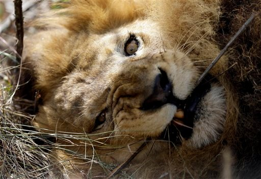 A former circus lion bites a tree branch inside an enclosure at Emoya Big Cat Sanctuary in Vaalwater, northern, South Africa, Sunday, May 1, 2016. Thirty-three lions rescued from circuses in Peru and Colombia are heading back to their homeland to live out