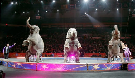 Asian elephants enter the arena at the end of the show as they perform for the final time in the Ringling Bros. and Barnum & Bailey Circus, Sunday, May 1, 2016, in Providence, R.I.