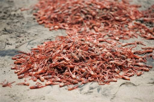 This Friday, May 13, 2016 photo shows tuna crabs washed up onto the beach at Shaw's Cove in Laguna Beach, Calif.