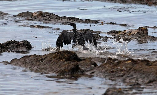 In this May 21, 2015, file photo, an oil-covered bird flaps its wings amid at Refugio State Beach, north of Goleta, Calif. Plains All American Pipeline said in a statement Tuesday, May 17, 2016, that a California grand jury has indicted the company and on