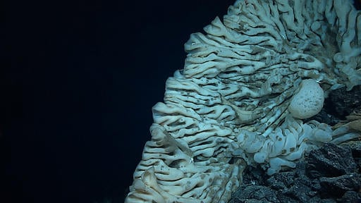 This Aug. 12, 2015 photo provided by NOAA's Office of Exploration and Research/Hohonu Moana 2015 shows a massive sponge photographed at a depth of about 7,000 feet in the Papahanaumokuakea Marine National Monument off the shores of the Northwestern Hawaii