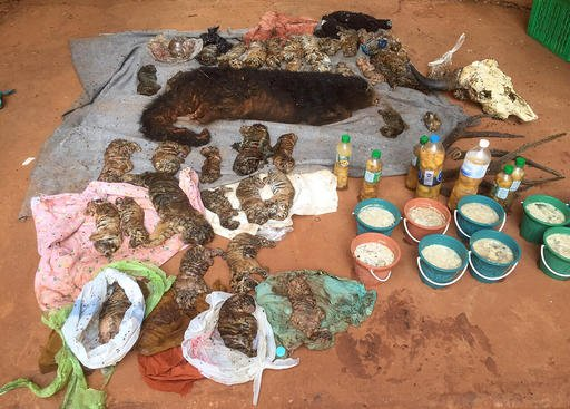"""In this photo released by the Department of National Parks, Wildlife and Plant Conservation, the remains of tiger cubs and a bear are laid out at the """"Tiger Temple"""" in Saiyok district in Kanchanaburi province, west of Bangkok, Thailand."""
