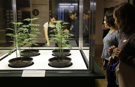 "May 26, 2016: Visitors look at Cannabis indica marijuana plants on loan from Dark Heart Nursery as part of the ""Altered State: Marijuana in California"" exhibit at the Oakland Museum of California. (AP Photo/Ben Margot)"