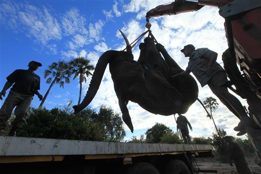 In this Tuesday July 12, 2016 photo, an elephant is lifted by a crane in an upside down position in Lilongwe, Malawi, in the first step of an assisted migration of 500 of the threatened species.