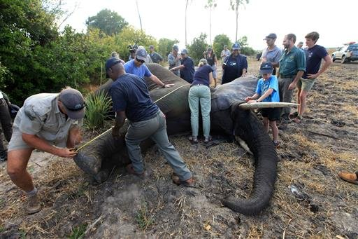 An elephant is measured after being shot by a dart in Lilongwe, Malawi, in the first step of an assisted migration of 500 of the threatened species.
