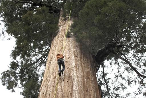 In this May 23, 2016 photo, arborist Jim Clark inches up a giant sequoia to collect new growth from its canopy in the southern Sierra Nevada near Camp Nelson, Calif.