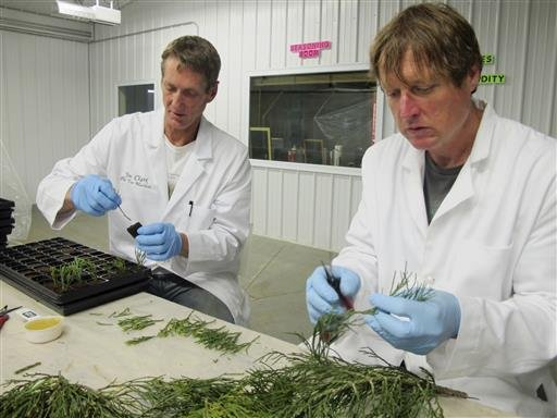 This May 25, 2016, photo shows Jim Clark, left, and Tom Brodhagen of the Archangel Ancient Tree Archive in Copemish, Mich., processing greenery that colleagues had cut from giant sequoia trees in California.