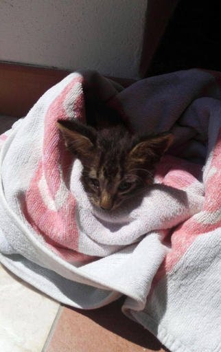 In this photo taken on Friday, Aug. 5, 2016 and provided by the Italian Coast Guard, a kitten is wrapped in a towel after being rescued from downing, off the coast of Marsala in Sicily, Italy.