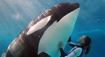 In this Feb. 27, 2006 photo provided by SeaWorld, a killer whale and worker perform at SeaWorld in San Diego. Anheuser-Busch InBev SA, the world's largest brewer, on Wednesday, Oct. 7, 2009 said that it will raise $2.7 billion from selling its U.S. theme
