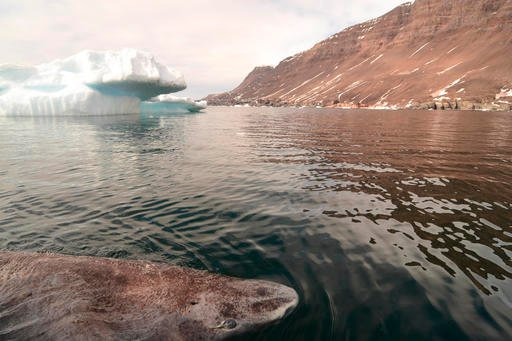 This undated photo made available by Julius Nielsen on Aug. 11, 2016 shows a Greenland shark in the icy waters of Disko Bay, western Greenland. In a report released Thursday, Aug. 11, 2016, scientists calculate this species of shark is Earth's oldest livi