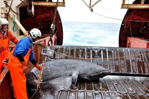 This undated photo made available by Julius Nielsen on Aug. 11, 2016 shows a Greenland shark caught aboard the research vessel Pâmiut in southwest Greenland. In a report released Thursday, Aug. 11, 2016, scientists calculate this species of shark is Earth