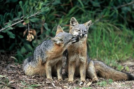 Three fox subspecies native to California's Channel Islands were removed from the list of endangered species Thursday, Aug. 11, 2016, in what federal officials have called the fastest recovery of any mammal listed under the Endangered Species Act. (Tim H