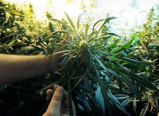 A grower holds a marijuana plant under a grow-light, Tuesday, Sept. 15, 2009, in Seattle. The marijuana is distributed to members of a cooperative of medical patients who have received doctor's authorization to use the drug. (AP Photo/Ted S. Warren)