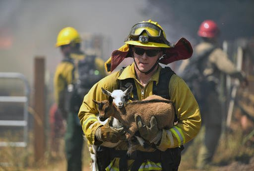 A firefighter rescues goats as flames from a wildfire envelope the area in Lower Lake, Calif., on Sunday, Aug. 14, 2016. (AP Photo/Josh Edelson)