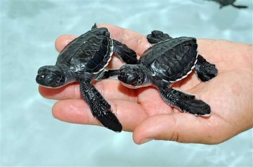 This Oct. 7, 2009 photo provided by SeaWorld San Diego shows sea turtle hatchlings transferred to a holding pool at SeaWorld San Diego. (AP Photo/SeaWorld San Diego, Bob Couey)