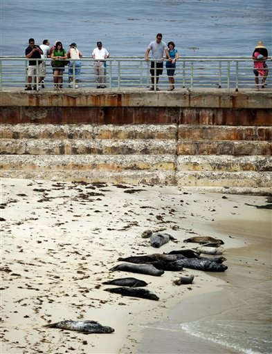 FILE - This July 20, 2009 file photo shows vacationers and locals gathering on the walkway as they watch harbor seals lounge on the beach where they have gathered for years in the La Jolla section of San Diego. (AP Photo/Lenny Ignelz, Filei)