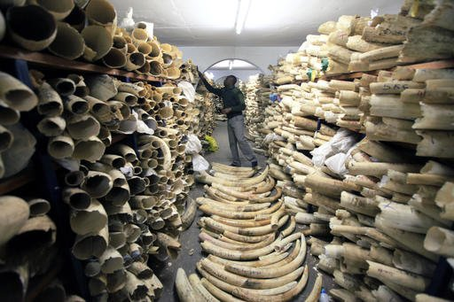 In this June 2, 2016 file photo, a Zimbabwe National Parks official inspects the stock during a tour of the country's ivory stockpile.