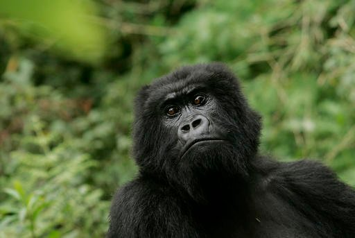 In this Nov. 30, 2007 file photo, a gorilla looks on at Volcanoes National Park in Ruhengeri, Rwanda. The eastern gorilla has been listed as critically endangered, making four of the six great ape species only one step away from extinction, according to t
