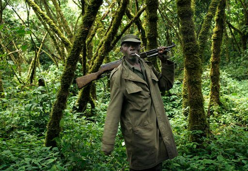 In this Nov. 25, 2008 file photo, a park ranger loyal to the CNDP escorts visitors through the Virunga National Park, near the Uganda border in eastern Congo. The eastern gorilla has been listed as critically endangered, making four of the six great ape s