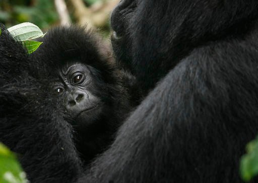 In this Nov. 25, 2008 file photo, a baby gorilla is held by an adult in the Virunga national park, near the Uganda border in eastern Congo. The eastern gorilla has been listed as critically endangered, making four of the six great ape species only one ste