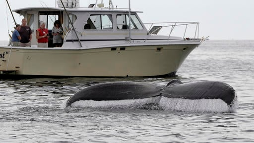 In this August 25, 2012 photo, boaters watch a humpback whale breach off the coast of Gloucester, Mass. Federal authorities are taking most humpback whales off the endangered species list. The National Marine Fisheries Service said Monday, Sept. 5, 2016 t