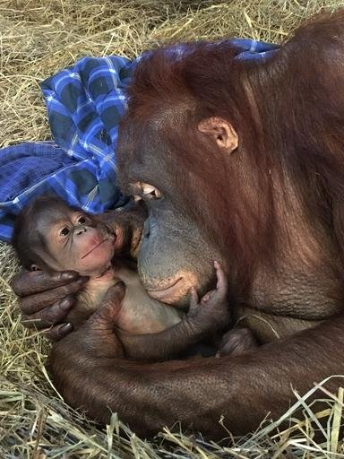 In this photo provided by the Smithsonian's National Zoo, Batang and her infant in the Great Ape House are seen the Smithsonian's National Zoo in Washington. National Zoo officials are celebrating the birth of a Bornean orangutan, the first at the zoo in