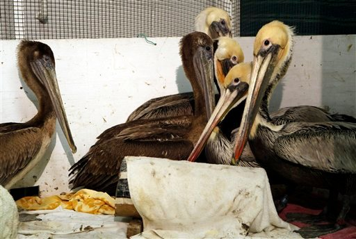 Rescued California Brown pelicans are temporary cared for in a heated room at the International Bird Rescue Research Center for their rescue in San Pedro, Calif., on Friday, Jan. 22, 2010. (AP Photo/Damian Dovarganes)