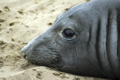 This May 5, 2016 photo provided by the University of California, Santa Cruz, shows an elephant seal named Phyllis at Ano Nuevo Natural Preserve within Ano Nuevo State Park near Pescadero, Calif.   RACHEL HOLSER, AP