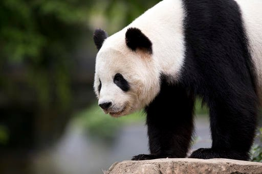 In this photo taken Sept. 25, 2015, panda cub Bao Bao, roams in an enclosure at the Smithsonian's National Zoo in Washington.