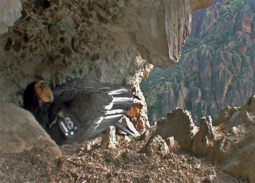 This photo provided by the National Park Service shows a nesting California condor on Friday, March 5, 2010, in a cranny near the High Peaks Trail in Pinnacles National Monument, Calif.
